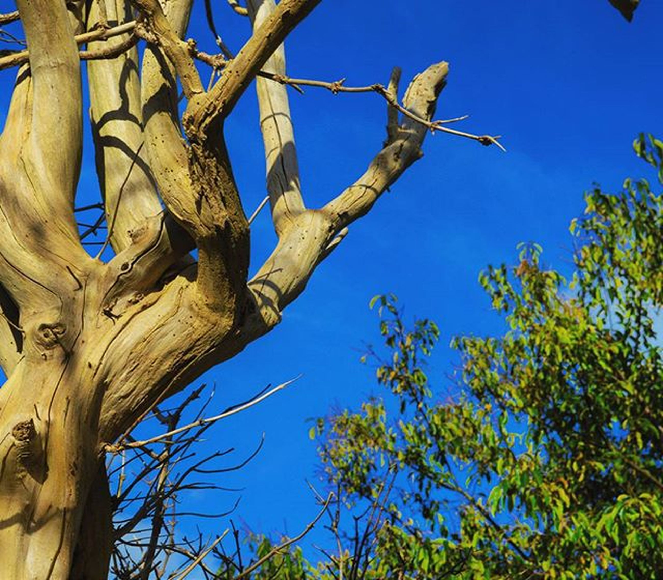 low angle view, tree, branch, blue, clear sky, growth, nature, sky, tree trunk, day, outdoors, sunlight, tranquility, no people, beauty in nature, bare tree, close-up, leaf, plant, part of