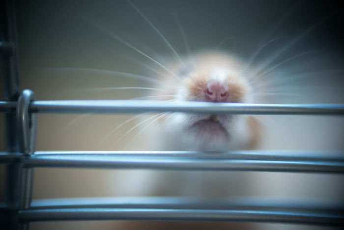 Animal Themes Cage Close-up Day Domestic Animals Hamster Indoors  Mammal No People One Animal Pets Syrian Hamster  Whisker