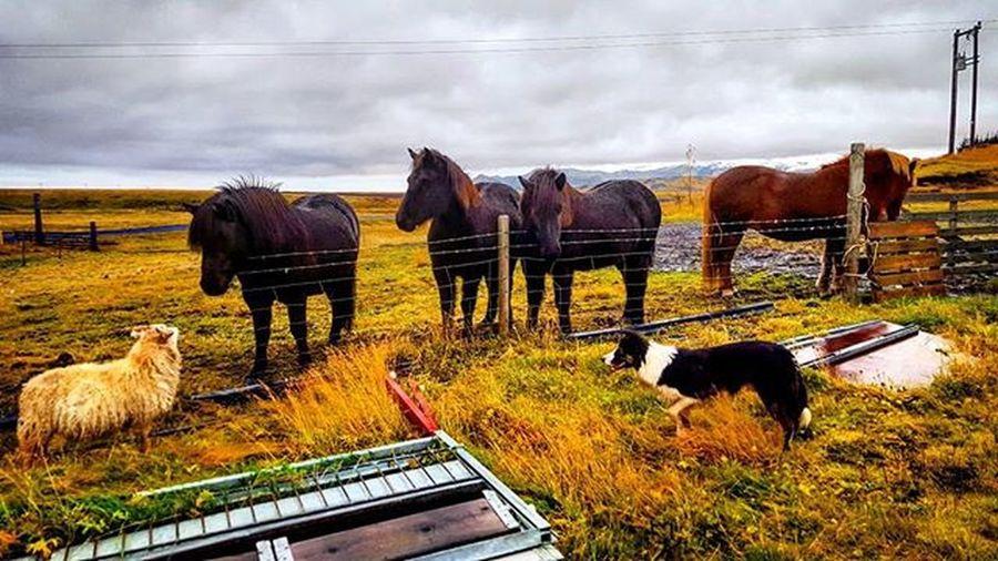 In good company :) Horses Horsesofinstagram Horse Sheep Dogstagram Dogs Dog Dogsofinstagram Whyiceland