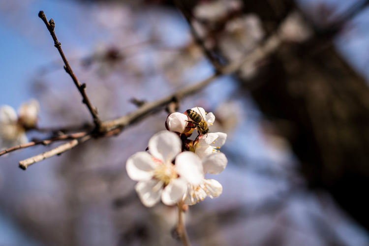 Plant Flower Flowering Plant Fragility Beauty In Nature Vulnerability  Freshness Growth Tree Close-up Nature Branch Blossom Focus On Foreground White Color No People Day Springtime Twig Petal Pollen Flower Head Outdoors Cherry Blossom