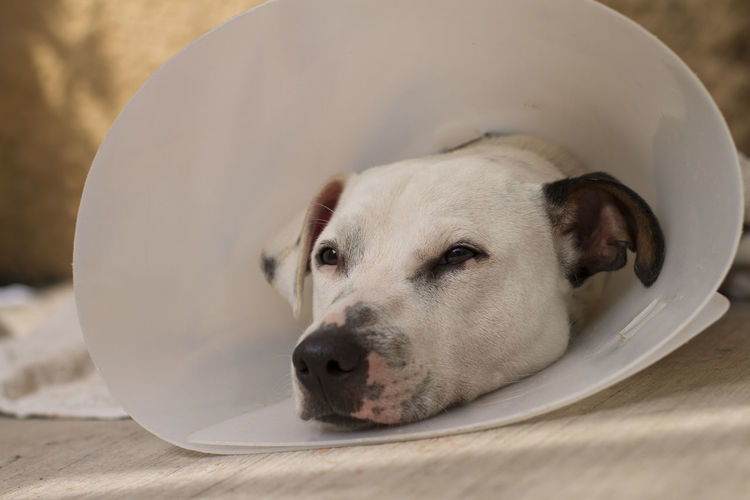 A small dog rests bored after being subjected to a surgical operation. Looking One Animal Domestic Dog Canine Animal Themes Pets Mammal Domestic Animals Animal Close-up Vertebrate Indoors  Focus On Foreground No People Relaxation White Color Day Flooring Animal Head  Animal Body Part Depression - Sadness