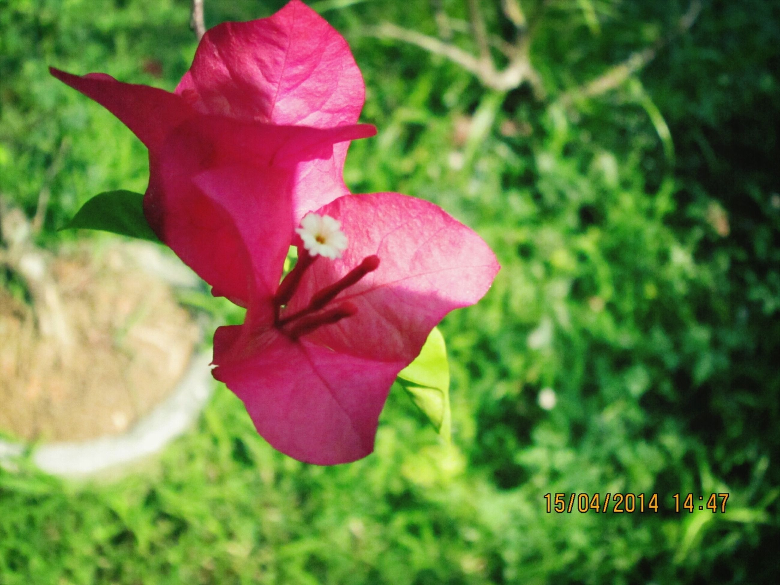 flower, growth, beauty in nature, freshness, focus on foreground, petal, fragility, close-up, nature, pink color, plant, blooming, flower head, day, park - man made space, outdoors, leaf, selective focus, no people, in bloom