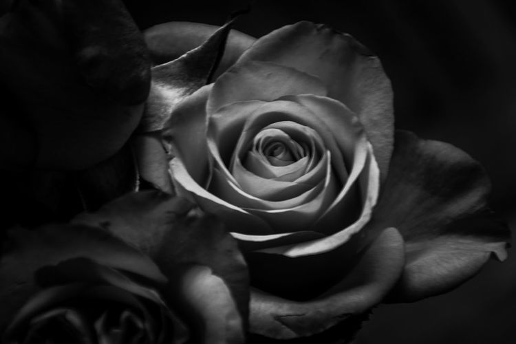 B&W 🌹 Flower Collection Bnw Blackandwhite Monochrome Backgrounds EyeEm Best Shots - Black + White Flowerporn Check This Out EyeEm Selects Exceptional Photographs EyeEm Best Shots Eyeem Market Nature Taking Photos Eyeemphotography Details Of Nature Nature_collection Flower Head Flower Rose Petals Petal Rose - Flower Close-up Plant In Bloom Blossom Botany Focus Blooming