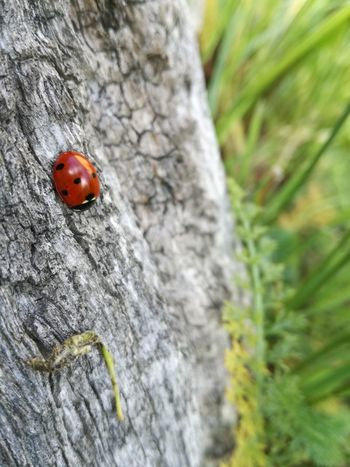 Ladybug Red Insect Animals In The Wild Animal Themes Close-up Tiny One Animal Day Outdoors Nature No People The Purist (no Edit, No Filter) Coccinelle Fragility Live For The Story