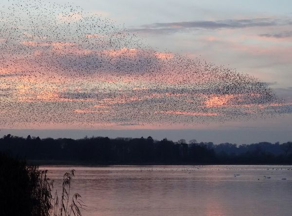 starlings at sunset Murmuration Starlings Sunset Aqualate Mere Staffordshire Sunset Reflection Silhouette Sky Lake Water Landscape Cloud - Sky No People Outdoors Nature Beauty In Nature Multi Colored Horizon Over Water Bird