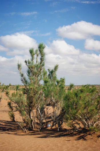Gobi Desert Mongolia Saxaul Trees Arid Climate Beauty In Nature Cloud - Sky Desert Environment Growth Land Nature No People Non-urban Scene Outdoors Plant Scenics - Nature Sky Tranquil Scene Tranquility Tree Говь- Монгол улс