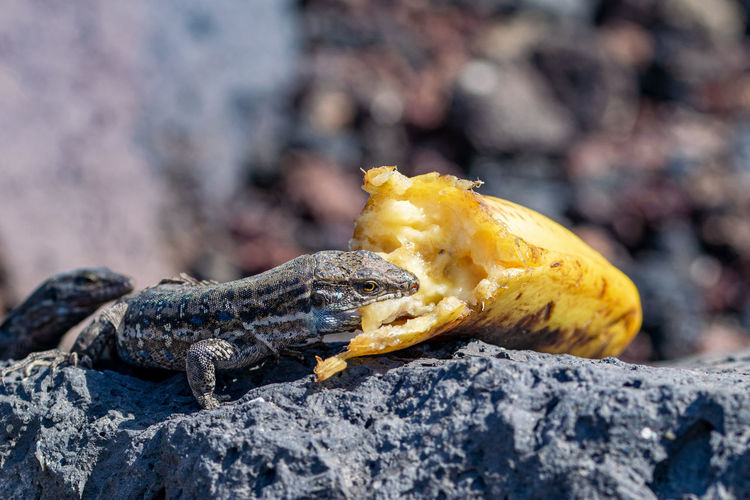 La palma wall lizards with a mouthful of discarded banana on volcanic rock. the canaries, spain
