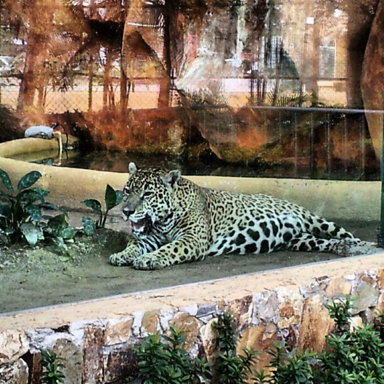 animals in the wild, leopard, rock - object, day, animal themes, portrait, nature, no people, safari animals, mammal, outdoors