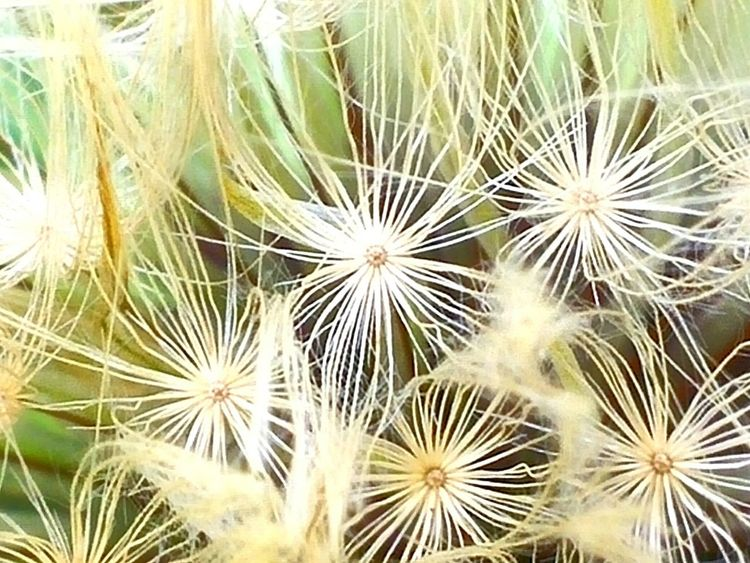 Maximum Closeness - flower-petals-seeds-re-growth-dandiloin Plant Nature Beauty In Nature No People Growth Outdoors Fragility Close-up Flower Dandelion Seed Day Freshness In Nature- Designed By Nature The Great Outdoors - 2017 EyeEm Awards