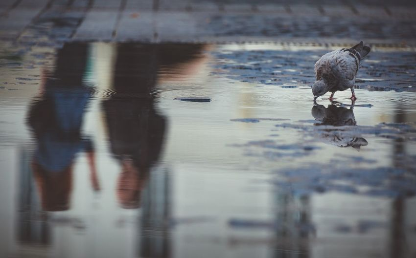 Reflection in water Sibiu, Romania Pigeon Reflection Water Reflection Animal Themes Animal One Animal Nature Animal Wildlife Vertebrate Rippled Selective Focus Mammal Outdoors Digital Composite