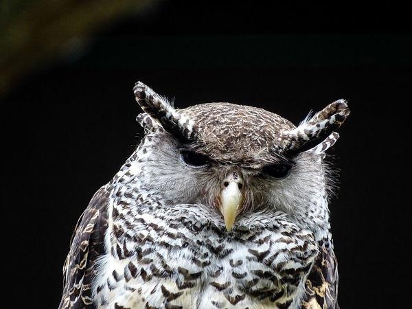 Animal Themes Beak Bird Black Background Eagle Owl  Owl Portrait Tierpark Berlin