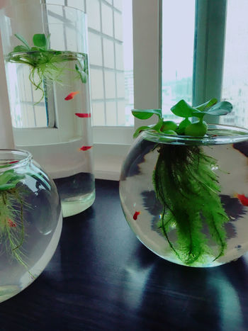Taiwan Close-up Day Fishbowl Indoors  Nature Plant Table Water