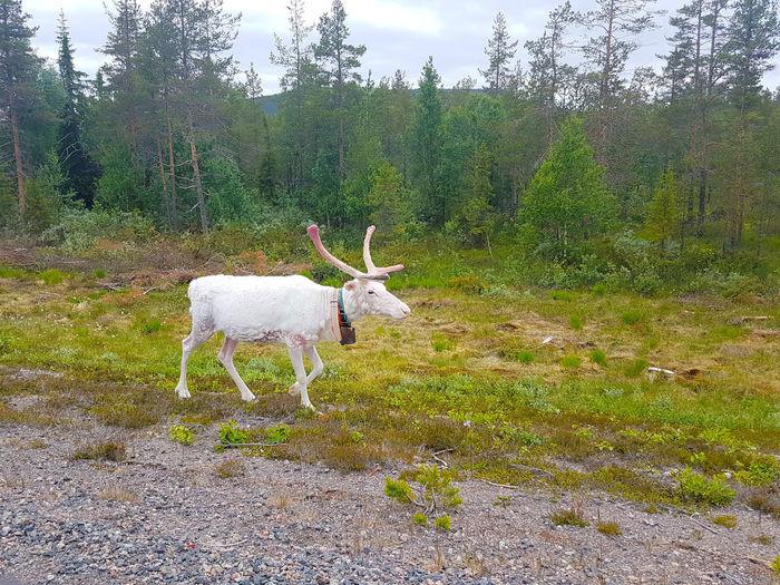 Reindeer Sweden Animal Animal Themes Field Livestock Outdoors Plant Reindeer Along The Road White Reindeer