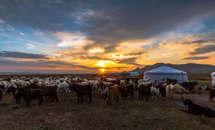 Large Group Of Goat And Sheep On Field Against Sky During Sunset