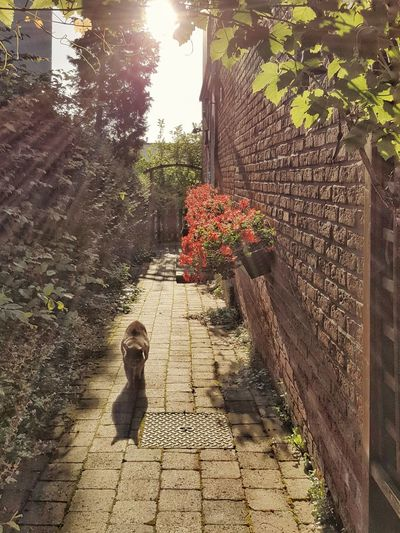 My cat returning home Sunlight Day Outdoors Shadow No People Nature Growth Vine Leaves Cat Petstagram Home Frontyard Brussels Belgium Flowers Brick Wall Pathway Home