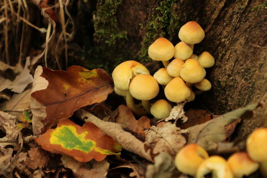 Fungi growing in Sherwood Forest Mushrooms Mushrooms 🍄🍄 Beauty In Nature Close-up Fungi Fungi Growth Fungi On A Stump Fungi🍄 Fungus Fungus 🍄 Growth Leaf Mushroom Nature Outdoors Toadstool