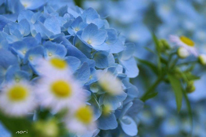 君だけを見ていた…。 https://youtu.be/GgDYIbt2-Gw Love_blue 紫陽花2015Photo Hydrangea 前後 のボケ味ふぇち Beautiful Flower Flower Collection EyeEm Flower Flower 花びらふぇち Kagoshima Good night🌙