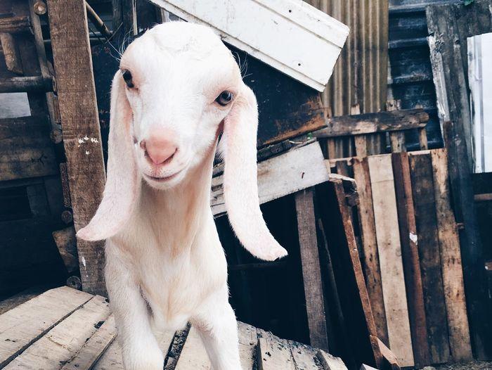 Close-up portrait of kid goat