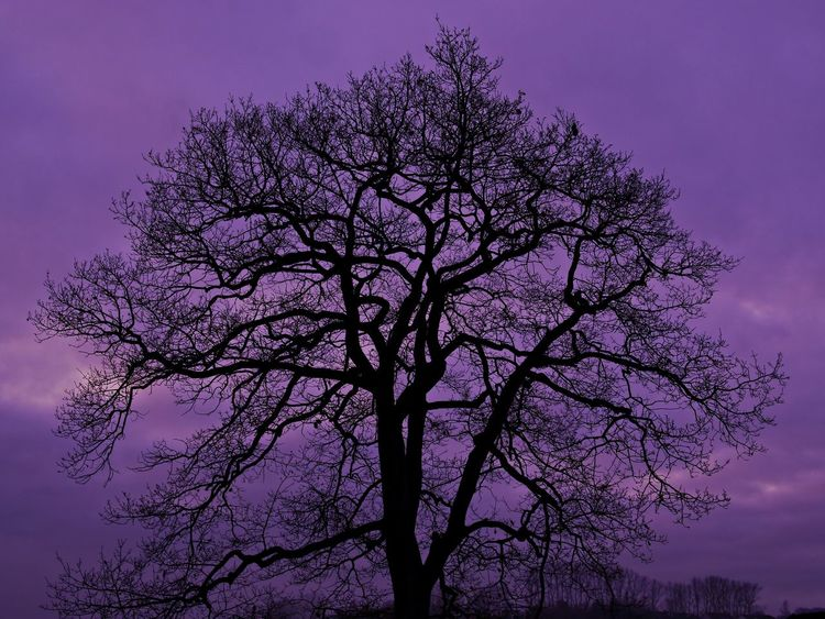 Bare Tree Beauty In Nature Branch Day Late Evening Sky Low Angle View Nature No People Oak Tree Outdoors Scenics Silhouette Sky Snowy Weather Tranquility Tree