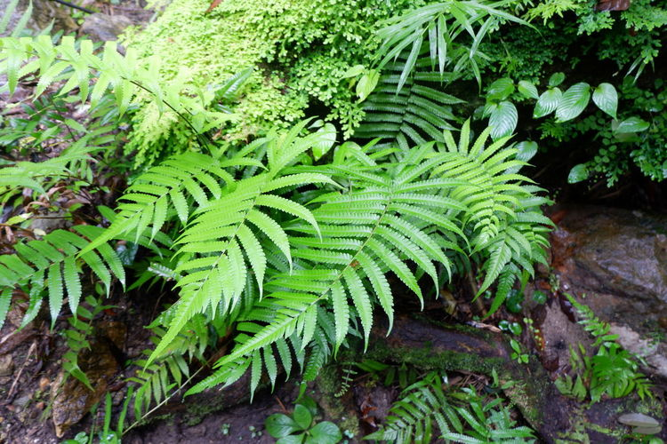 green fern on rock Road Selaginellaceae Spike Moss Beauty In Nature Botany Close-up Day Environment Fern Foliage Forest Green Color Growth High Angle View Land Leaf Lush Foliage Moss Nature No People Outdoors Plant Plant Part Rainforest Selaginella Springtime Stone Tranquility Tree