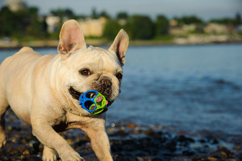 Close-Up Of French Bulldog Walking With Toy In Mouth At Lakeshore