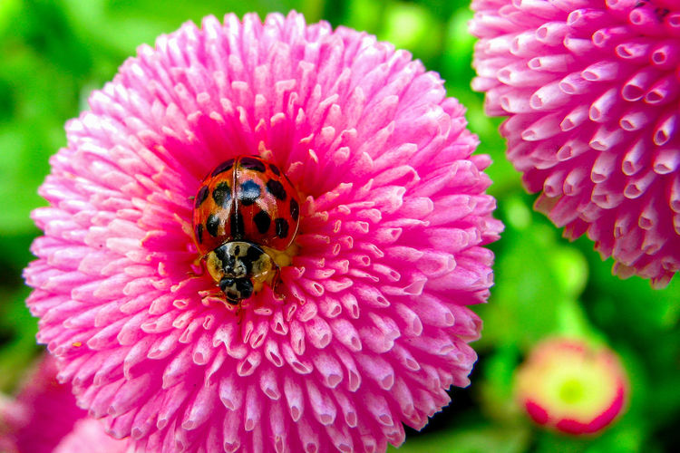 Close-up of ladybird in a pink flower Beauty In Nature Close-up Day Flower Flower Head Fragility Freshness Green Growth Insect Insert In The Wild Ladybirds 🐞 Ladybug🐞 Nature No People Outdoors Petal Pink Flower Pollination Wildlife