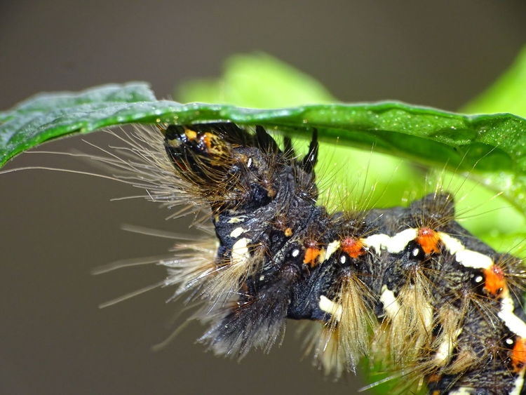 Butterfly Caterpillar Macro Leaf Close-up Animal Wildlife One Animal Butterfly - Insect Day Focus On Foreground Animals In The Wild Insect Caterpillar Eating Caterpillar Animals In The Wild Animal Themes No People Nature Outdoors Beauty In Nature German Caterpillar