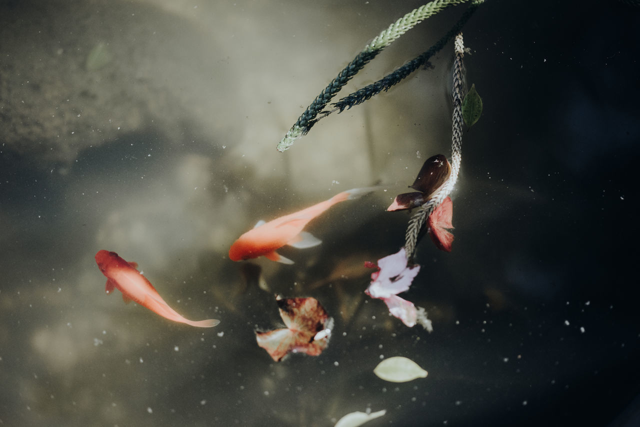 water, swimming, animal themes, animals in the wild, nature, koi carp, fish, sea life, no people, motion, carp, close-up, underwater, beauty in nature, day, outdoors, undersea