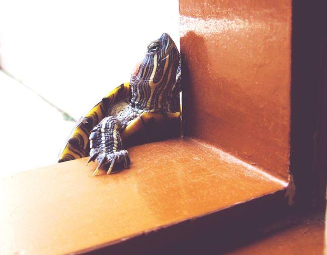 EyeEmNewHere Entering Doorway Turtle Turtle Cuteness Turtle Shell Turtles In The Sun Turtle Love Turtleneck Turtle Time Turtle Tag Turtle_troy Turtle Dove Turtle Eyes TurtlePower Turtle 🐢 Turtlebeach