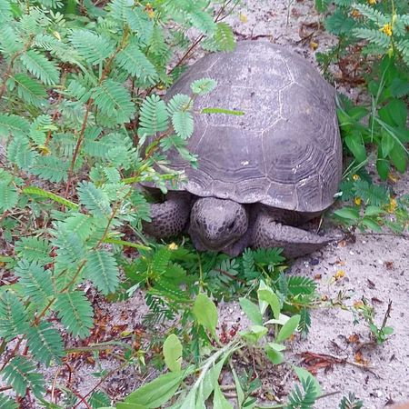 Animal Themes Leaf One Animal Nature Outdoors Growth Plant Animals In The Wild No People Day Tortoise Florida Adventure Outdoor Photography Hikingadventures Turtle Wildlife