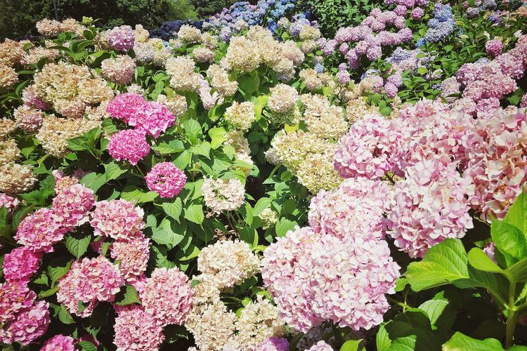 Nature_collection Picoftheday Photographer Photooftheday Naturephotography Hortensia Flower Hortensie Growth Plant Fragility Beauty In Nature Vulnerability  Freshness Pink Color Nature Day Flowering Plant Full Frame Flower Backgrounds Outdoors Flower Head Inflorescence Botany