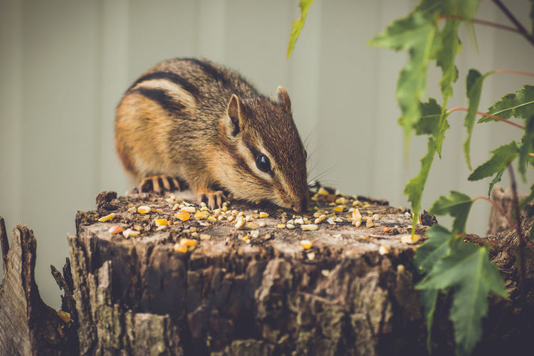Close-up of chipmunk eating seeds on wood