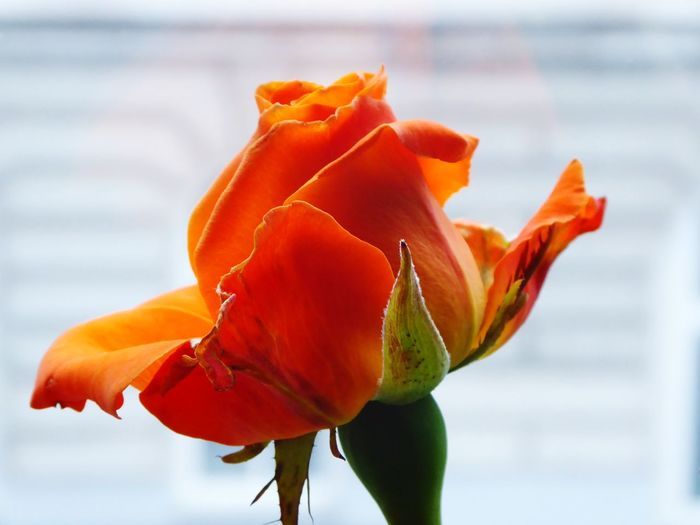 my color😍 Cold And Rainy Today😎 For My Friends😚 Warms My Heart Orange Focus On The Beauty My View Now🌞 Flower Head Flower Springtime Rose - Flower Close-up