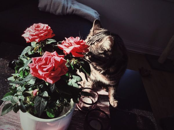 May look like the flowers are for the cat🌸🐱😄 Cat Flowers Valentine's Day  Valentine Flower Canon Pink Pink Flower Colors Home Photography Photooftheday PhonePhotography IPhoneography Cheese! EyeEm Gothenburg Sweden