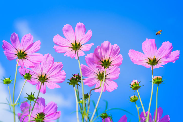 cosmos with blue sky background Flower Head Flower Clear Sky Blue Summer Blossom Pink Color Sky Close-up Plant Cosmos Flower Sepal Poppy Daisy Pollen In Bloom Flowering Plant Blooming Plant Life Petal