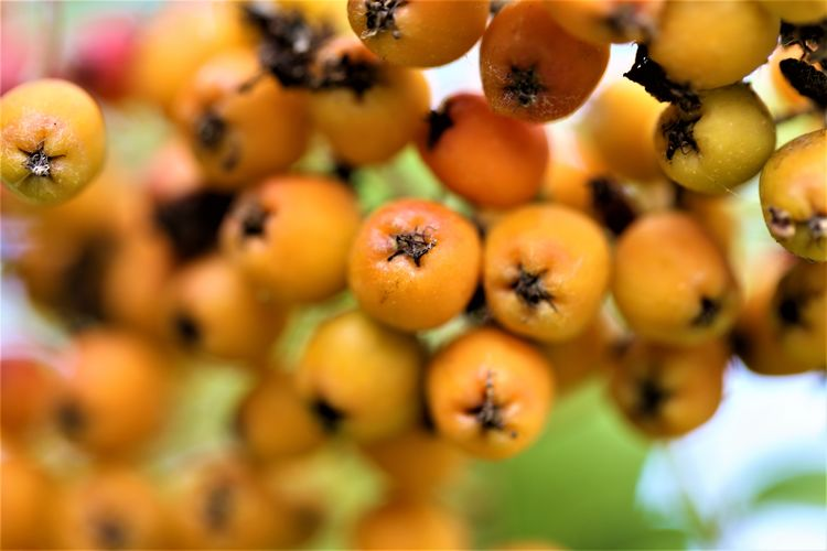 Orange Color Day Growth Ripe Still Life Full Frame Nature Abundance Focus On Foreground Large Group Of Objects Selective Focus Food Freshness Food And Drink Fruit Healthy Eating Wellbeing Close-up No People Outdoors