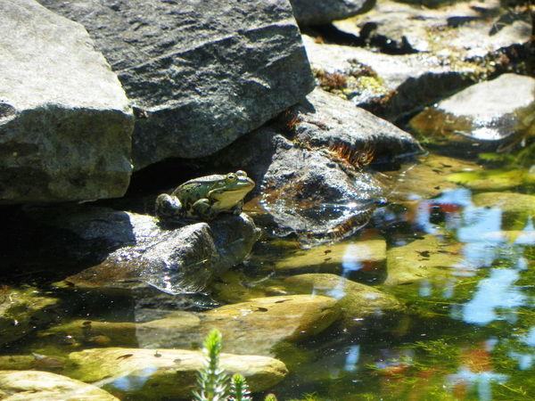 Auf Jagd Garden Photography Frösche Garten Pflanze Natur Nature Photography Teichfrosch Teich Feelings
