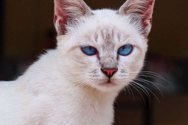 white cat blue eyes Blue Eyes Animal Themes Blue Close-up Day Domestic Animals Domestic Cat Eye Feline Home Interior Indoors  Looking At Camera Mammal No People One Animal Pet Pets Portrait Whisker White White Cat