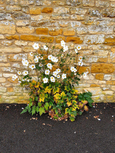 Beauty In Nature Blossom Day Flower Freshness Moreton-in-marsh No People Stone Wall Wall - Building Feature