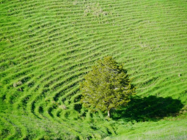 A random grassy spot on the New Zealand country side. Green Color Nature Grass Growth Day No People Beauty In Nature Outdoors New Zealand Hills Tree One Tree Textured