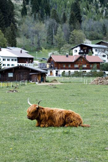 Highland cattle