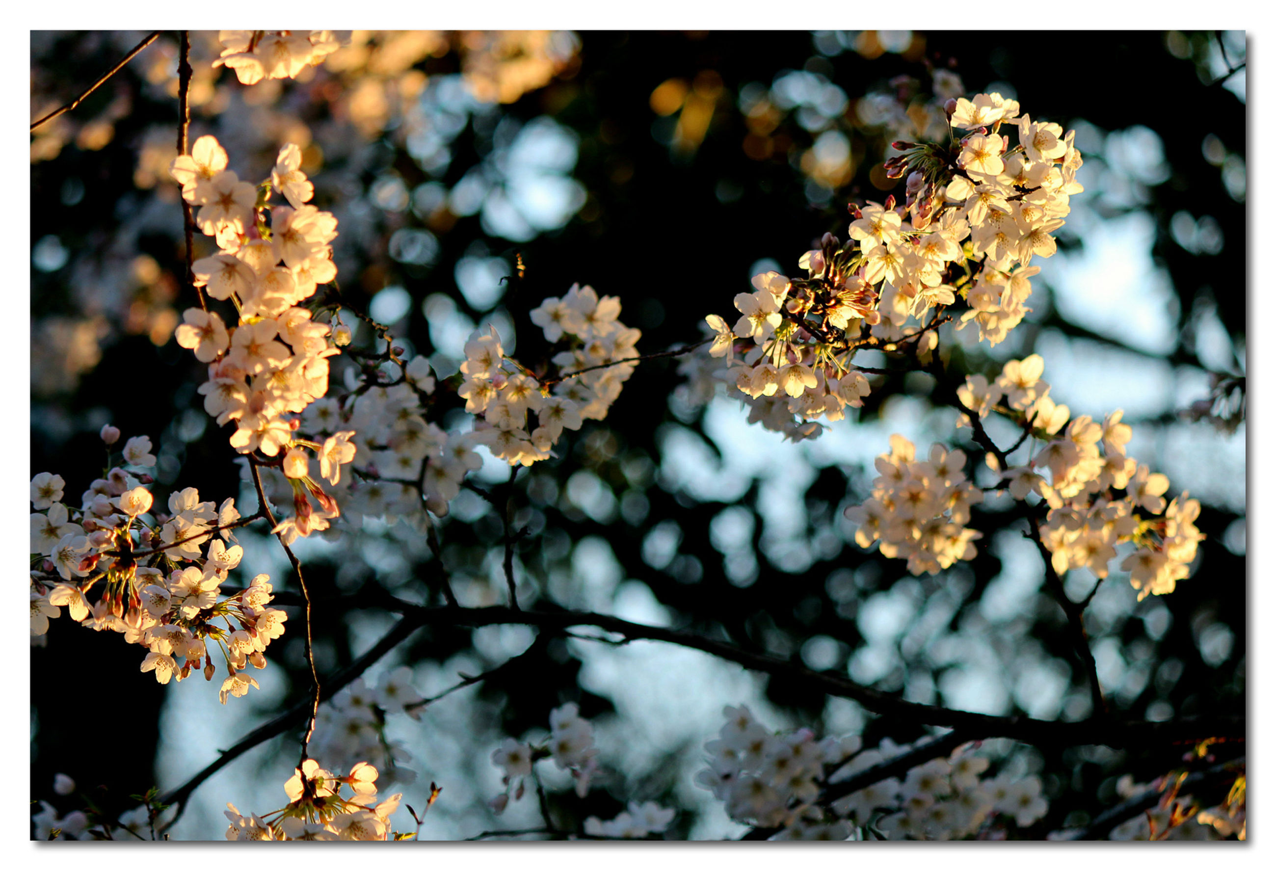 flower, transfer print, freshness, branch, growth, fragility, beauty in nature, auto post production filter, tree, petal, nature, blossom, focus on foreground, close-up, cherry blossom, blooming, white color, in bloom, twig, springtime