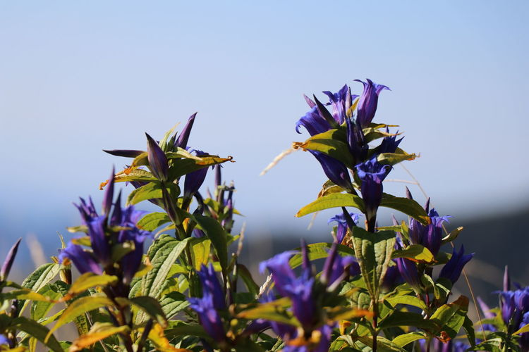 Close-up of purple flowering plant against clear sky