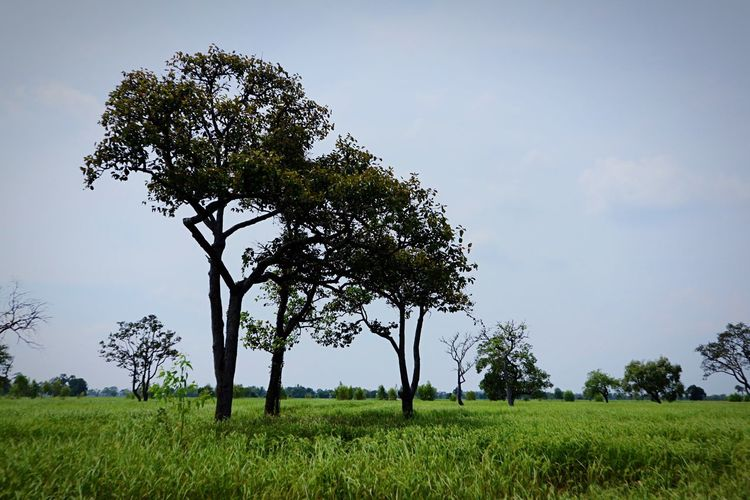 Tree Nature Field Single Tree Grass Beauty In Nature Tranquility Landscape Tranquil Scene Sky Outdoors Green Color Scenics Growth Day No People Clear Sky
