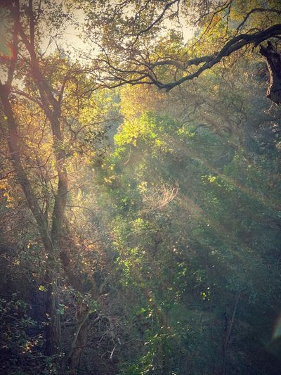 """Forest Light"" Descending from heaven, forest light, filtering down though space is tight, kiss the leaves, the branches too, wherever you can as you pass through. Below the earth awaits your touch, not to light and not too much, but just enough to awaken the dormant, like some angelic, heavenly informant. Soft Light Poetry In Pictures Poetry Sunlight Filtered Light Tree No People Nature Beauty In Nature Growth Tranquility Sunlight Scenics - Nature Tree Canopy  Forest Branch"