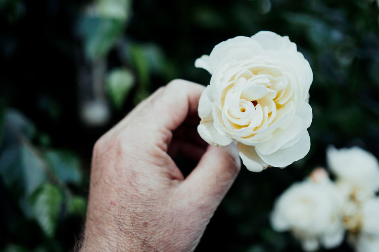 Cropped Image Of Senior Man Holding White Flower