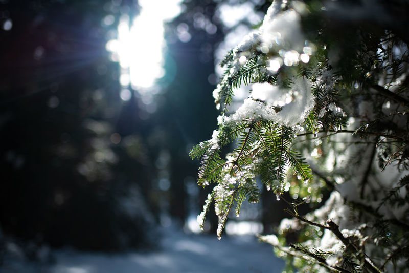 Plant Tree Snow Cold Temperature Winter Frozen Sunlight Branch Focus On Foreground Outdoors Fir Tree Selective Focus Ice Pine Tree Coniferous Tree