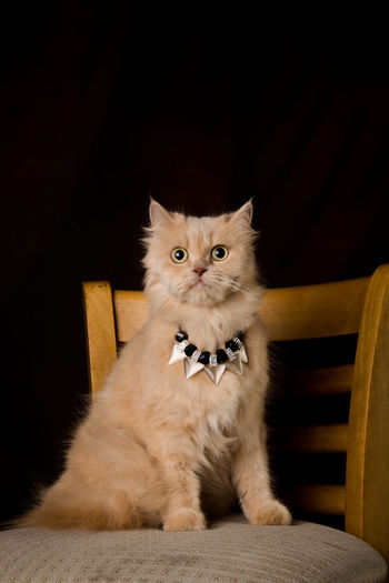 Portrait Of Cat Wearing Necklace On Chair Against Black Background