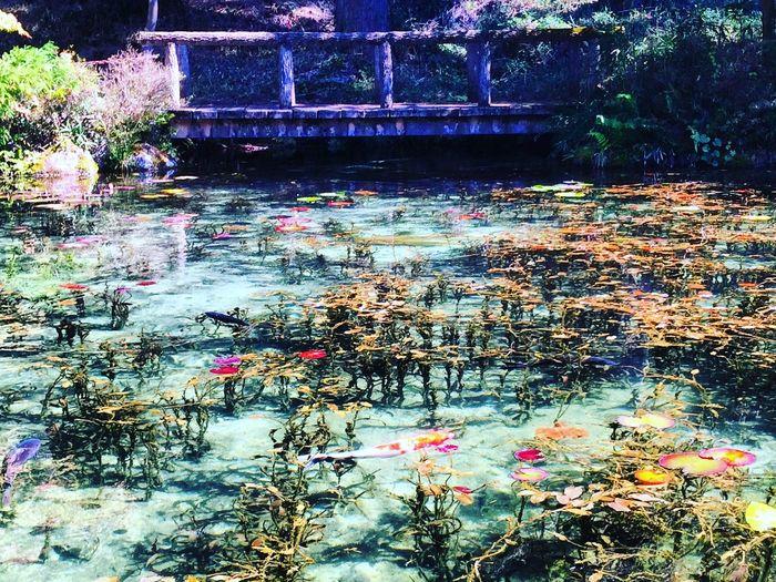 モネの池 日本 Japan
