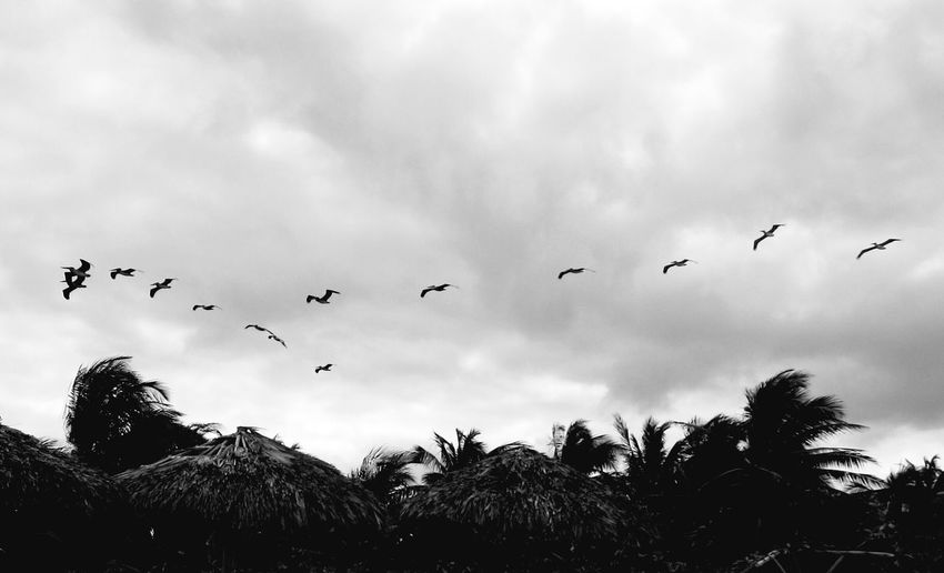 Flying Bird Flock Of Birds Animal Body Part Animal Wildlife Cloud - Sky Large Group Of Animals Animals In The Wild Animal Themes Animal Silhouette Sky Outdoors Group Of Animals Storm Cloud No People Nature Palm Trees Black And White Black & White Tropical EyeEmNewHere Tropical Climate Copy Space Tropical Breeze